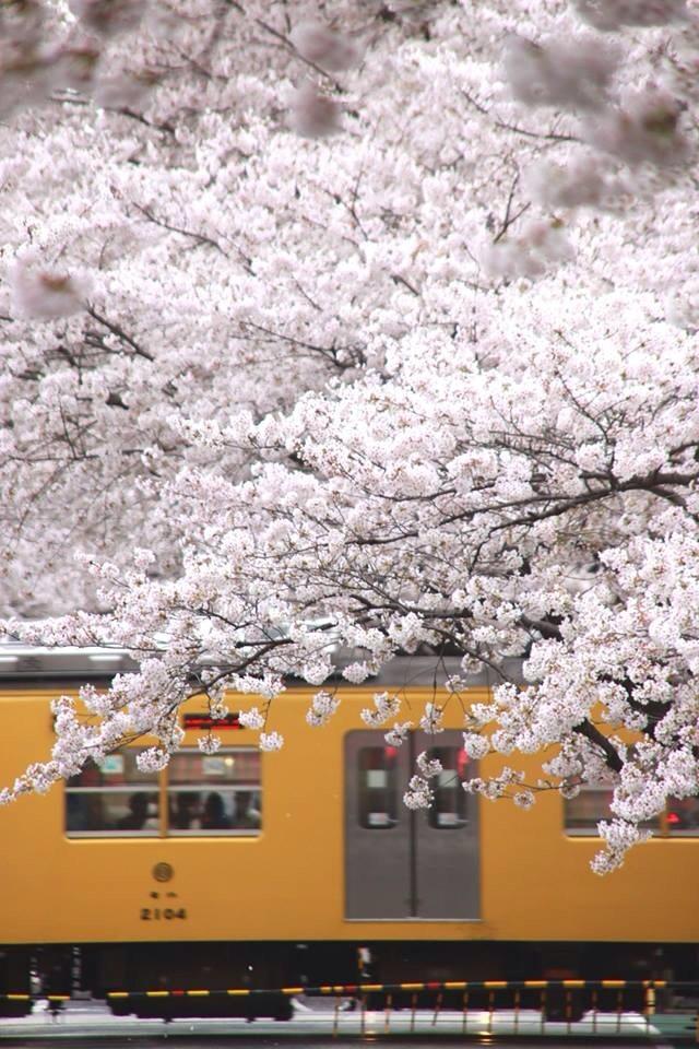 幸せの黄色い電車に桜舞ふ